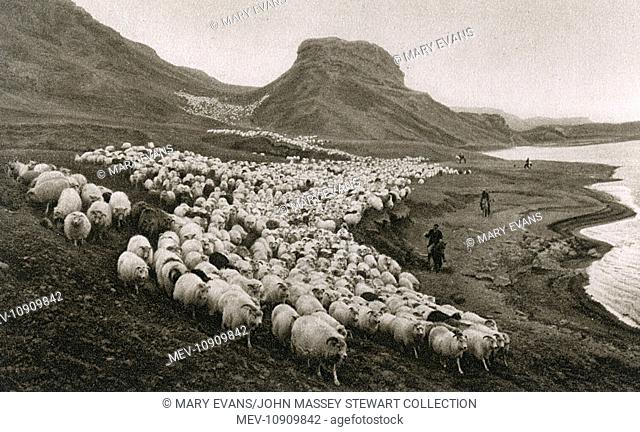 Flock of sheep in the valley of Thjorsardalur, south west Iceland