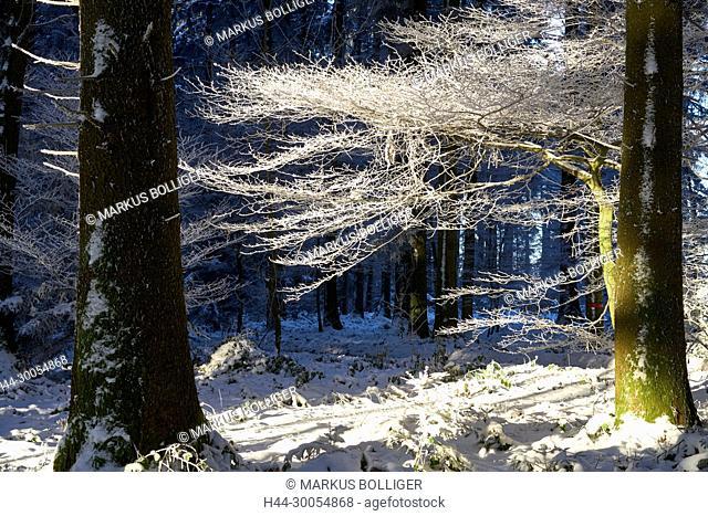 Wood, Emmental, brook Biem, Tröcheni, fir Buchenwald, frost, white frost, Biecht, hoarfrost, hoarfrost, branch, branch, beech, Fagus sylvatica
