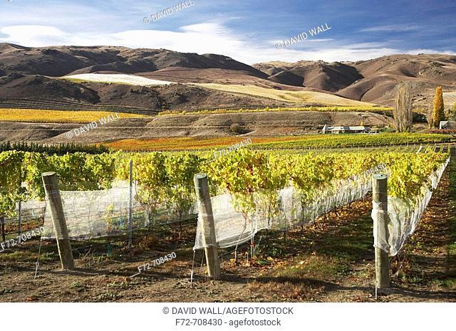 Vineyard, Bannockburn, Central Otago, South Island, New Zealand