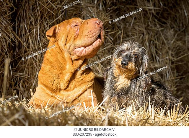Chinese Shar-Pei and Wire-haired Dachshund. Two adults sitting on straw. Germany