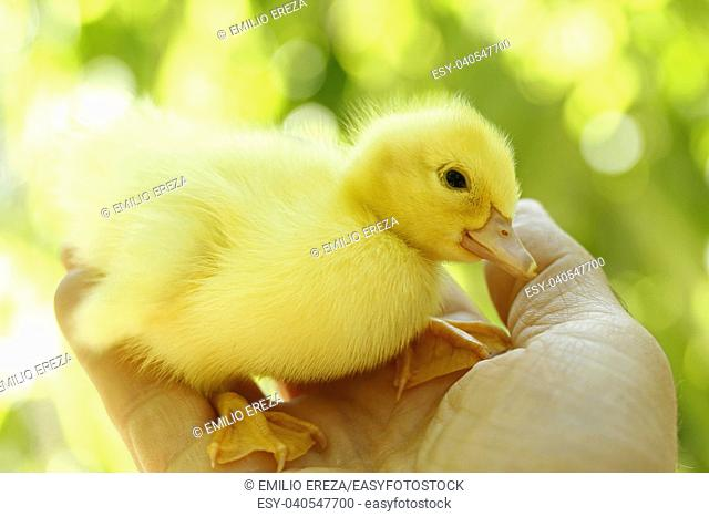Duckling on hand