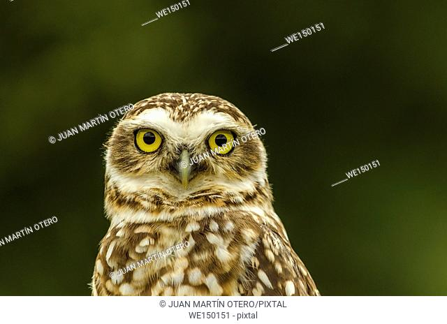 owl is looking at camera on green background