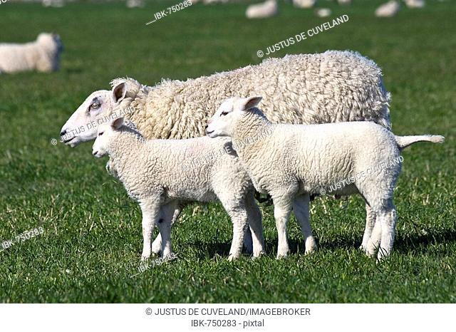 Domestic sheep (Ovis aries) with two lambs on a pasture