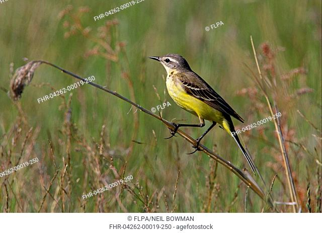 Blue-headed wagtail Motacilla flava flava adult female, perched on stem, Aqmola Province, Kazakhstan, june
