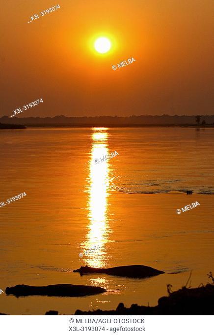 Hippopotamus, Hippopotamus amphibious. Zambezi river. Mana Pools National Park. Zimbabwe