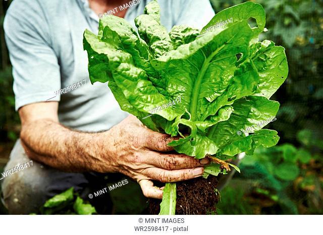 A gardener holding up a freshly picked lettuce