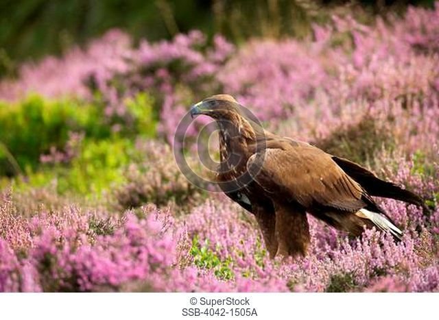 Golden eagle Aquila chrysaetos in a field, Loughborough, England