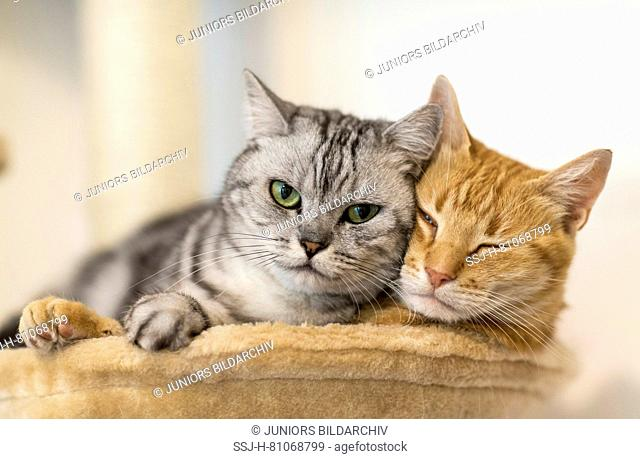 British Shorthair and domestic cat. Two adult cats lying next to each other on a pet bed. Germany