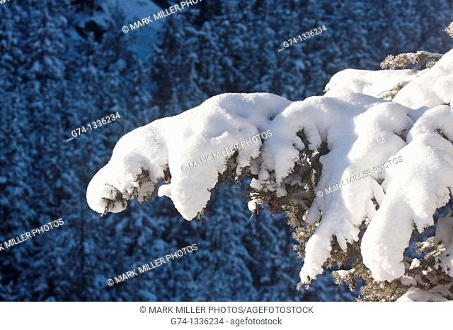 Winter snow accumulation on evergreen tree branch in Yellowstone National Park, Wyoming, USA