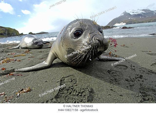 South Georgia, Island group, south Atlantic, gold harbor, sea elephant, seal, Mirounga Leonina, Two, animals, beach, s
