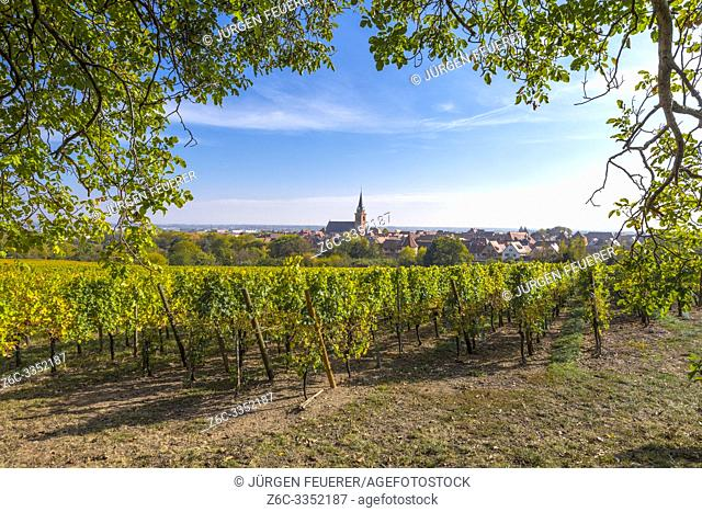 idyllic view of the village Bergheim, Alsace, France, rural landscape with vines and walnut tree
