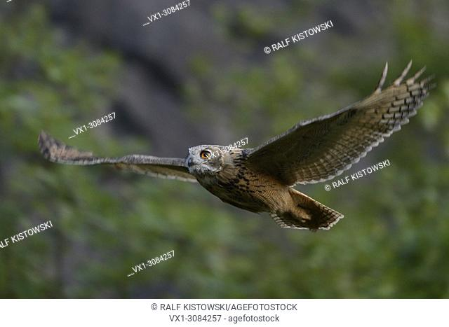 Eurasian Eagle Owl ( Bubo bubo ) in noiseless gliding flight along a steep face, bushes of an old quarry, wildlife, Europe..