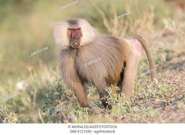 Africa, Ethiopia, Rift Valley, Awash, Hamadryas baboon (Papio hamadryas), Dominant male