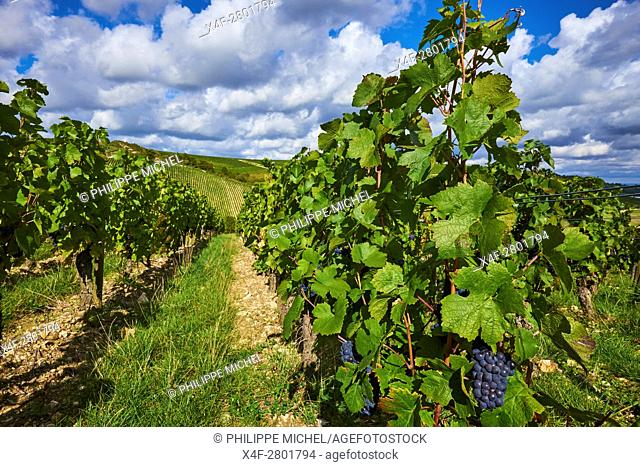 France, Cher 18, vineyard of Sancerre