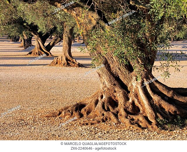Olive orchard. Santa Barbara village countryside. Montsia Region, Tarragona Province, Catalonia, Spain
