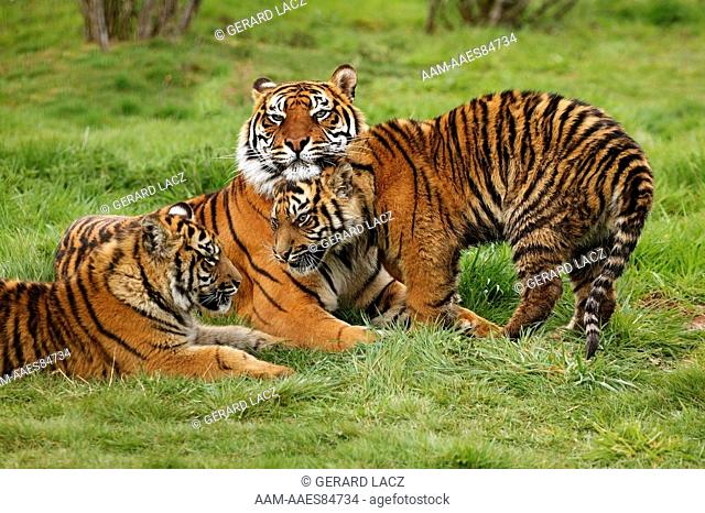 Sumatran Tiger (Panthera Tigris Sumatrae) Female With Cub