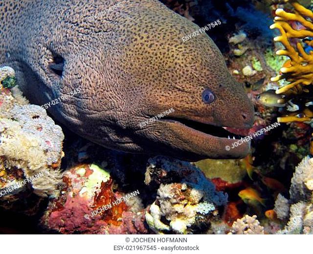 Riesenmuräne im Roten Meer