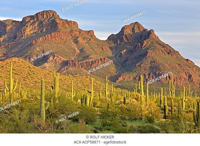Ajo Range mountains, Saguaro Cactuses, spring, Organ Pipe National Monument, Arizona, USA