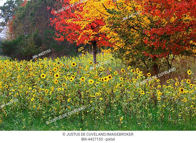 Sunflowers (Helianthus annuus) and maples (Acer sp.) in red and yellow autumn colours, Schleswig-Holstein, Germany