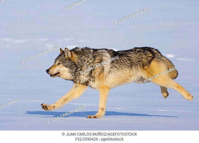 Gray wolf or grey wolf (Canis lupus). Colorado, Usa