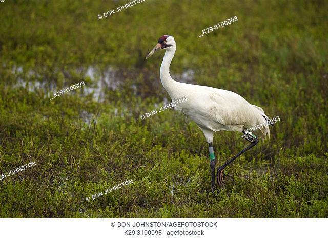 Whooping crane (Grus americana) in winter range, Aransas NWR, Texas, USA
