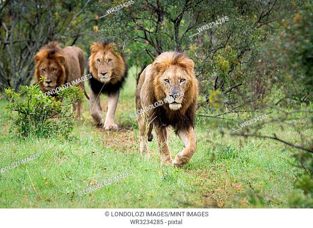 Three male lions, Panthera Leo, walk together in green grass, direct gaze