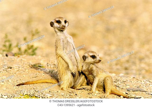 Suricate Suricata suricatta - Two playful young in the vicinity of their burrow  Kalahari Desert, Namibia