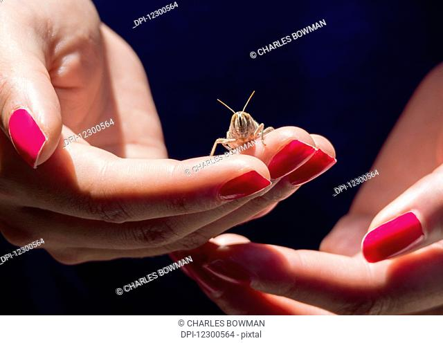 Woman's hands with red fingernails holding a grasshopper; Spain