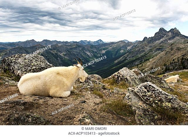 Two Mountain Goats resting
