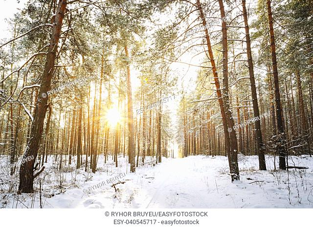 Gomel, Belarus. Amazing Sunset Sunrise And Sun Sunshine In Sunny Winter Snowy Coniferous Forest. Snowy Path, Road, Way Or Pathway In Winter Forest