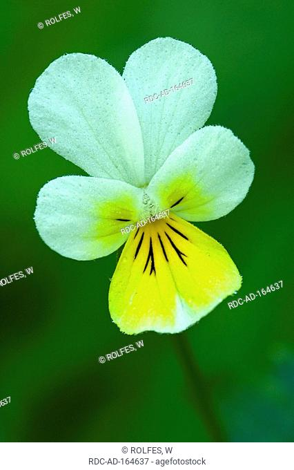 Field Pansy Carinthia Austria Viola arvensis