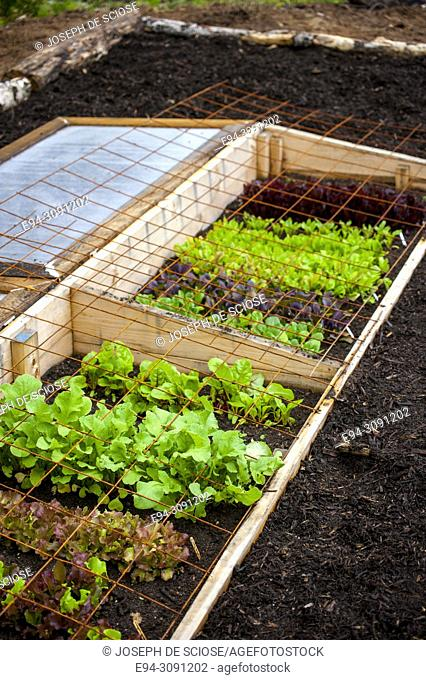 A variety of lettuce plants growing in a cold frame topped with wire