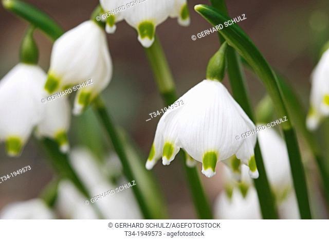 Spring Snowflake, Leucojum vernum, Schleswig-Holstein, Germany