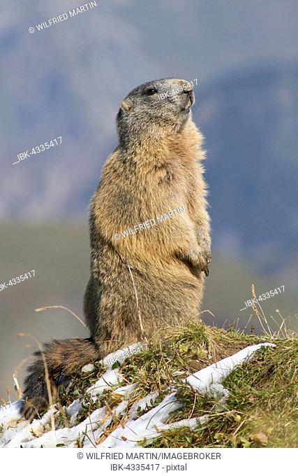Alpine marmot (Marmota marmota), Allgäu, Bavaria, Germany
