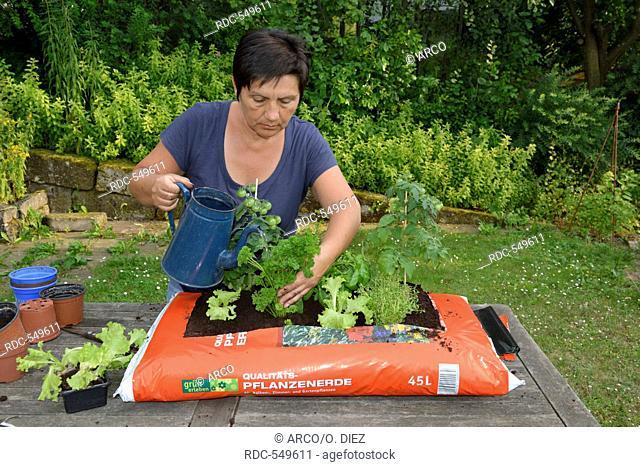 Planting sack of potting compost with tomatoes, basil, parsley, majoram, rosemary, lettuce / (rosmarinus officinalis), (ocimum basilicum)