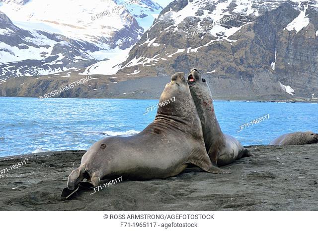 Southern Elephant Seals (Mirounga leonina) fighting. Gold Harbour, South Georgia
