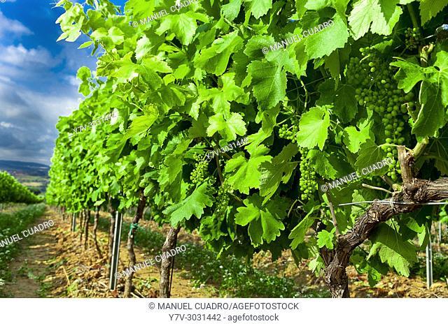 Vineyards in the Penedes region (Denominación de Origen Penedes). Barcelona province, Catalonia, Spain