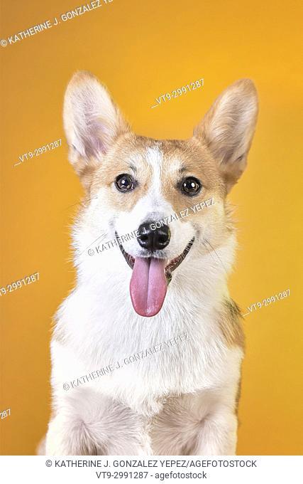 Studio portrait of corgi with tongue out