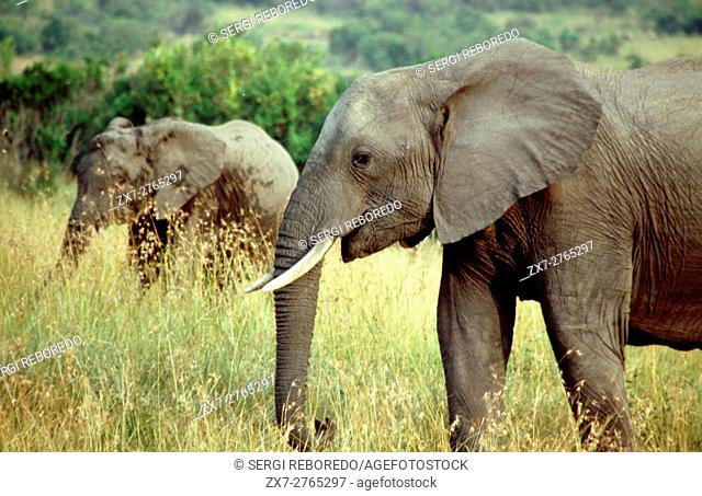 African elephants (Loxodonta africana) in a forest, Masai Mara National Reserve, Kenya