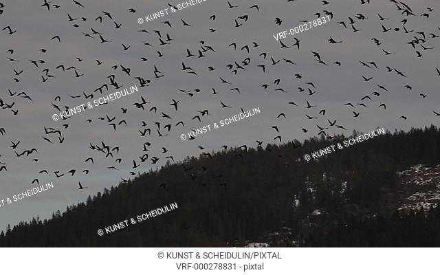 Spring in Sweden: a flock of migrating birds is soaring through a grey, cloudy sky. Noraström, Västernorrlands Län, Sweden