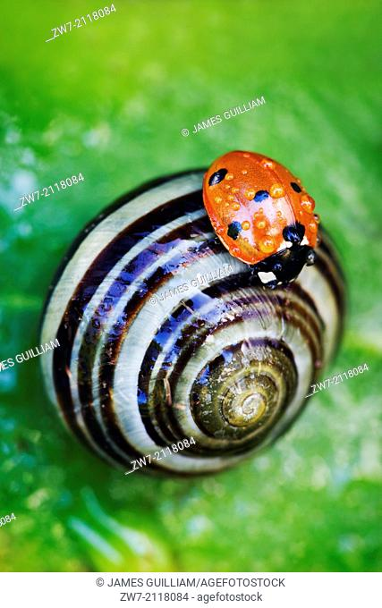 Ladybird (Coccinella 7-punctata) resting on a White-lipped banded snail (Cepaea hortensis)
