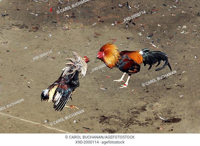 A Cockfight near Ubud, Bali, Indonesia