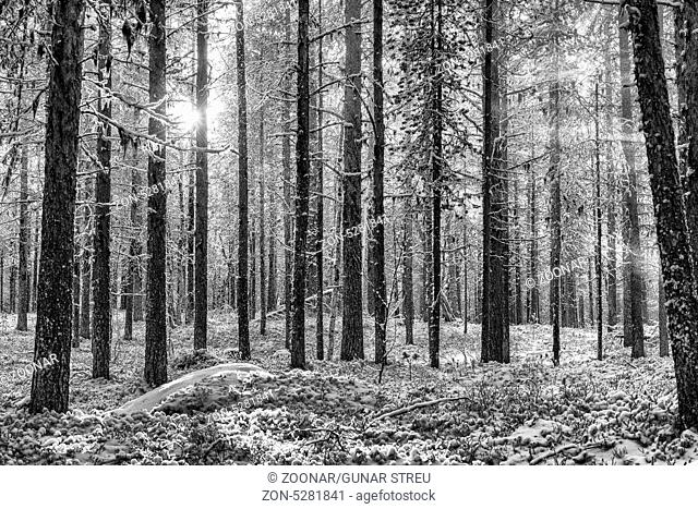 backlight mood in forest, Lapland, Sweden