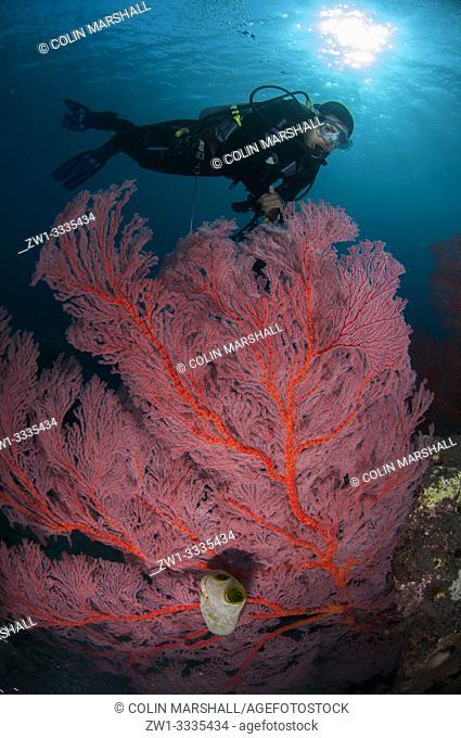 Diver above Sea Fan (Melithaea sp, Melithaeidae family) with sun in background, Caldera dive site, Komba Island, near Alor, Indonesia