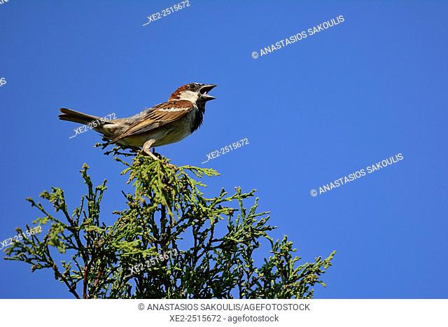 House Sparrow Passer domesticus, Crete