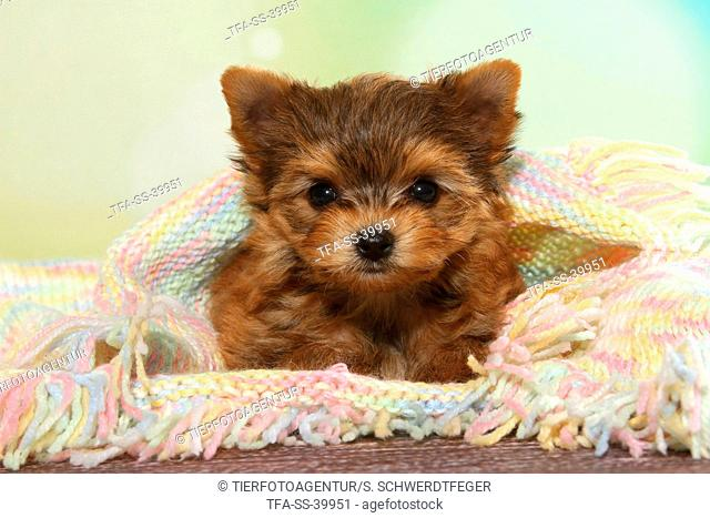 lying Yorkshire Terrier Puppy