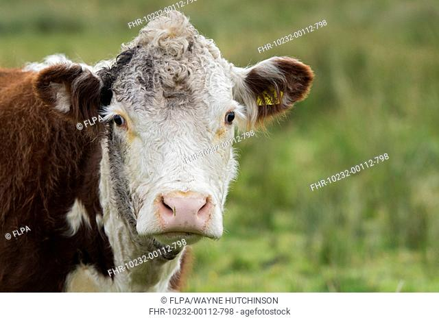 Domestic Cattle, Hereford cow, close-up of head, in upland pasture, Wensleydale, Yorkshire Dales N.P., North Yorkshire, England, September