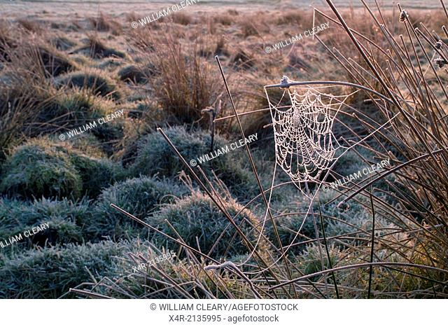 Spider web woven on rushes, coated with hoar frost in the early morning
