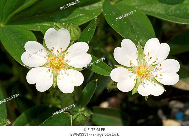 White Cinquefoil (Potentilla alba), flowers, Germany