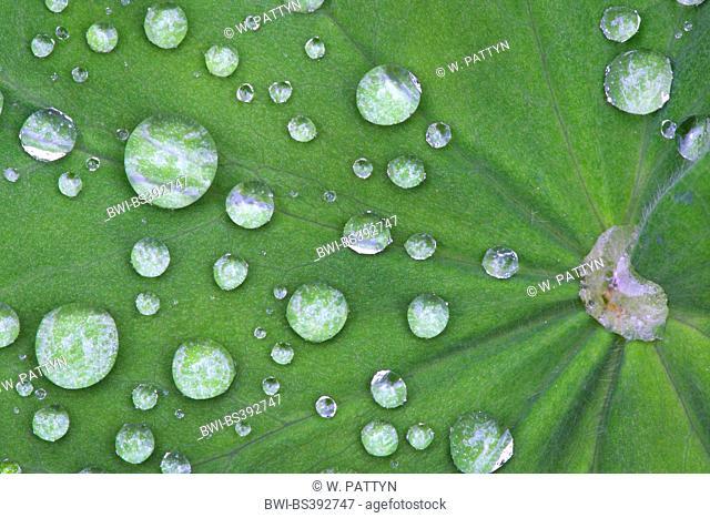 lady's mantle (Alchemilla spec.), droplets on leaf, deuschla